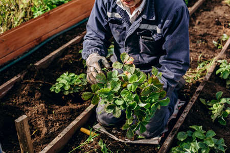 agriculture and gardening, strawberry transplantation. A large bush of greenery in the hands of a farmer.