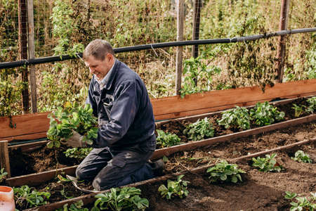 an elderly man transplants green plants in the garden. Agriculture and horticulture Stock Photo
