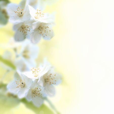jasmine bush: Jasmine