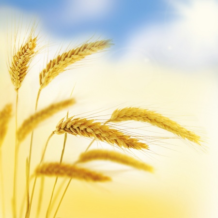 grain fields: wheat Stock Photo