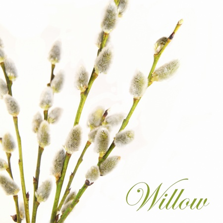 sallow: Willow