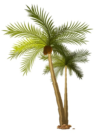 two tropical palm-tree isolated on white background  Vector