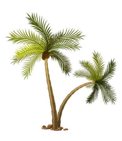 coconut tree: two tropical palm-tree isolated on white background