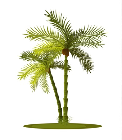 palm tree isolated: two tropical palm-tree isolated on white background