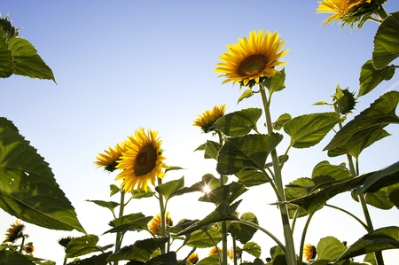 Field of sunflowers Stock Photo - 9988428