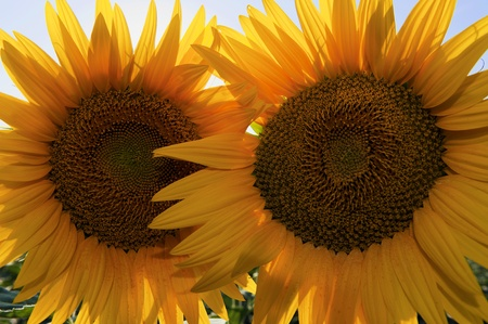 Pair of sunflowers Stock Photo - 9988439