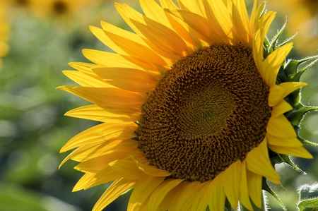 Sunflower Stock Photo - 9988435