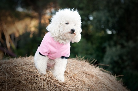 Sweet dog dressed in pink on a bale of hay photo