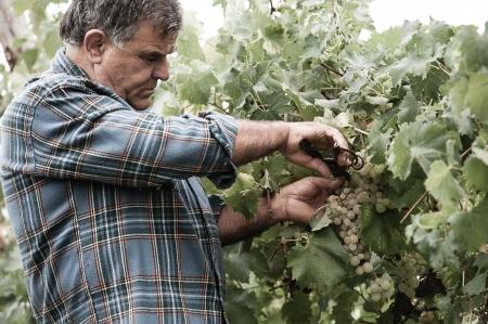 winemaker: Senior winemaker cuts twigs,Italy Stock Photo