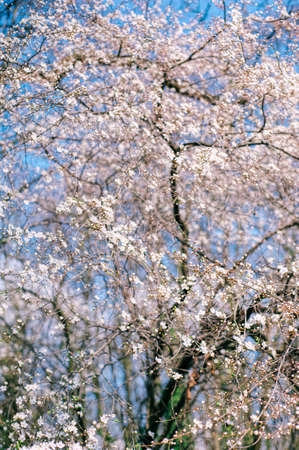 Springtime inspiration. Branches of a white flowering tree on blue sky background close up. Bright spring day.