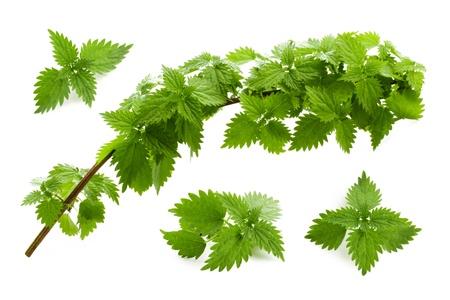 nettle: Leaves of nettle isolated Stock Photo