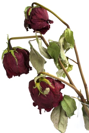 wilted: Three wilted roses on white background