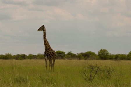 b w: giraffe in the bush at sunset against the sky   in the Etosha Park, Namibia, South Africa