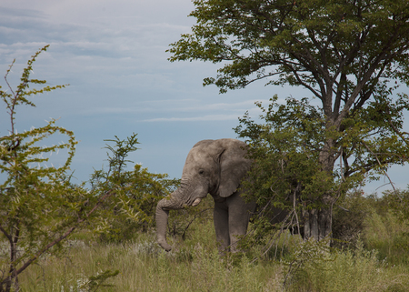 wilds: old elephant resting in the shade of a large tree Stock Photo
