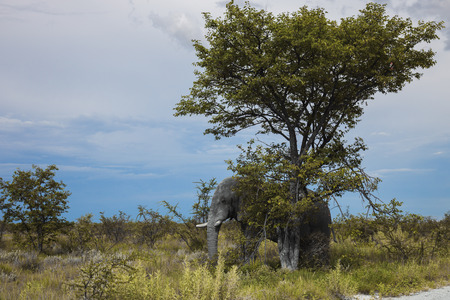 wilds: old elephant resting in the shade of a large tree      in the Etosha Park, Namibia, South Africa