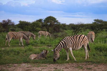 a lot of zebras eating and grazing in the bushes Stock Photo