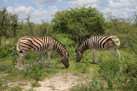 wilds: two zebras eating and grazing in the bushes
