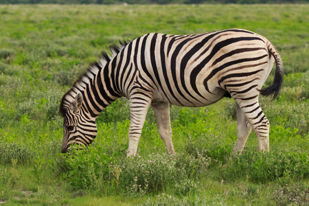 wilds: one zebra eating and grazing in the bushes