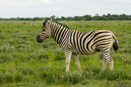 wilds: one zebra eating and grazing in the bushes of the park Etosha. Namibia. South Africa Stock Photo