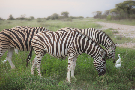 wilds: a lot of zebras eating and grazing in the bushes Stock Photo