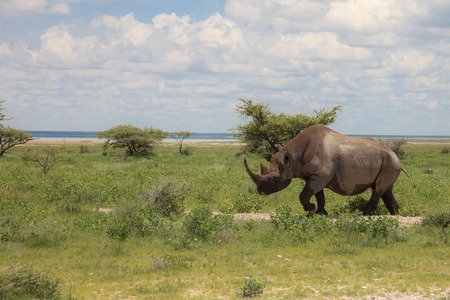 rhinoceros walks, eating and grazing on a sunny day in the bushes Stock Photo