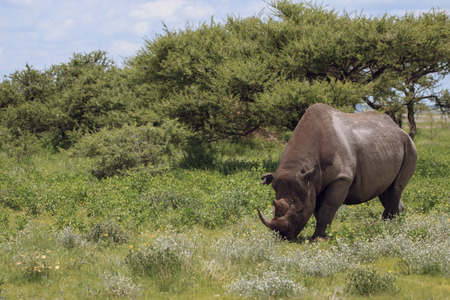namibia: rhinoceros walks, eating and grazing on a sunny day in the bushes Stock Photo