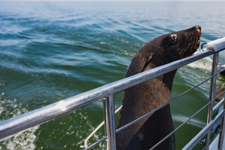 one of huge herd of fur seal swimming near the shore of skeletons Stock Photo