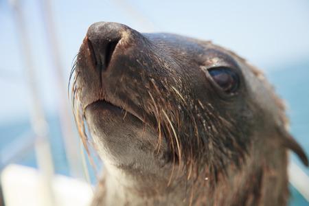 atlantic ocean: one of huge herd of fur seal swimming near the shore of skeletons in the Atlantic Ocean, South Africa, Namibia.