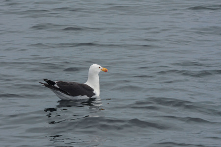 screen savers: One seagull swim and rests after flying in the blue air above the ocean
