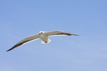 screen savers: seagulls flying high in the blue air, waving their wings over the ocean Stock Photo