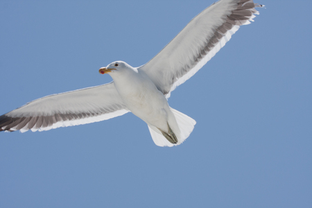 seagulls flying high in the blue air, waving their wings over the ocean Stock Photo