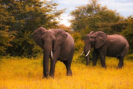 Two huge elephants walks and grazes Stock Photo