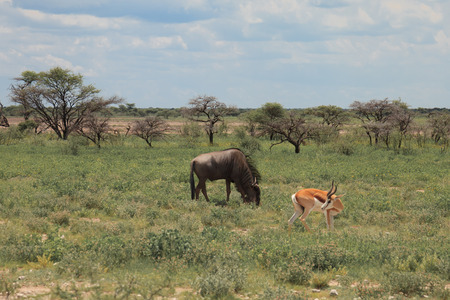 wilds: big wildebeest grazing and eat with buatifui springbok in the bushes