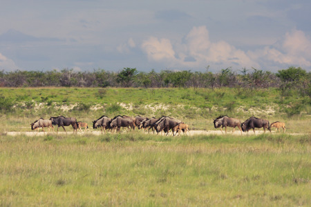 antidorcas: herd wildebeest moves to a new location pastures.
