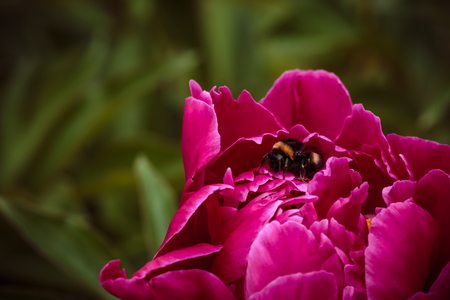 One ordinary bumblebee in pink peonies on background