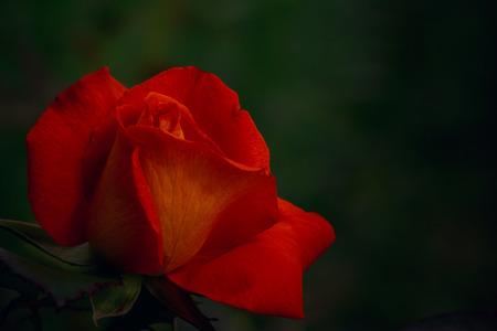 One red-orange rose on dark  background Stock Photo