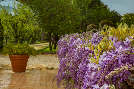 Bushes purple wisteria blossoms at dawn after the rain in a European garden. Italy Stock Photo