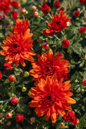 Blooming of a red chrysanthemum in green leaves in a bouquet