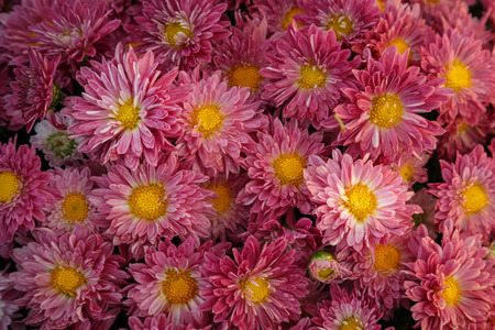 a huge number of red flowering chrysanthemums collected in one place, for  nice congratulations and wishes Stock Photo