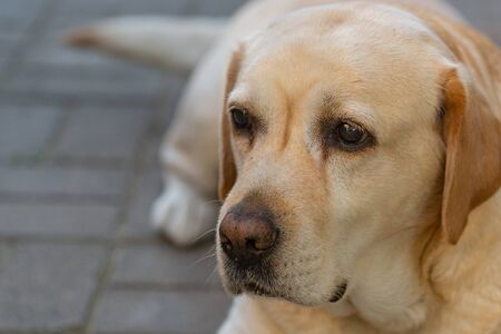 a light-haired labrodor dog with sad eyes is bored and waiting for his master in the courtyard of the house in the garden
