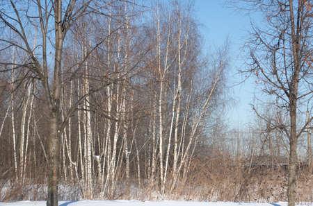 winter birch trees in the suburban area. Dayshot 免版税图像