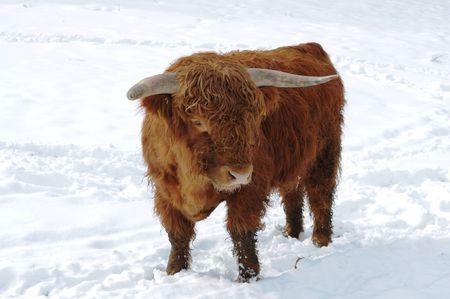 Buffalo in the snow Stock Photo - 7315245