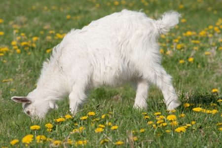 The little white goat grazing on the meadow Stock Photo - 16471365