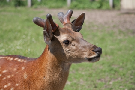 The Sika Deer or the Spotted Deer, or the Japanese Deer