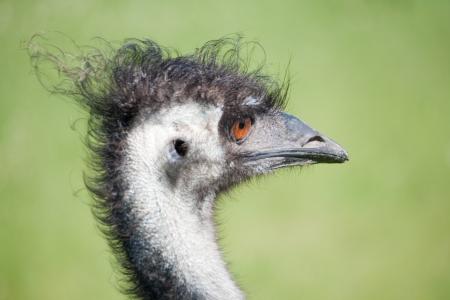 emu: Em� Foto de archivo