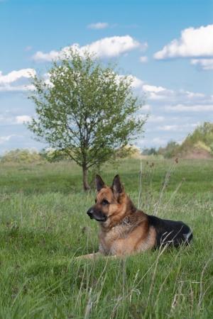 German Shepherd dog resting on the lawn Stock Photo - 16511216