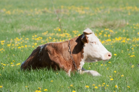 red heifer: Cow resting Stock Photo
