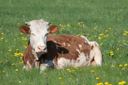 red heifer: Young cow