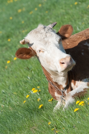 red heifer: portrait of a red cow Stock Photo