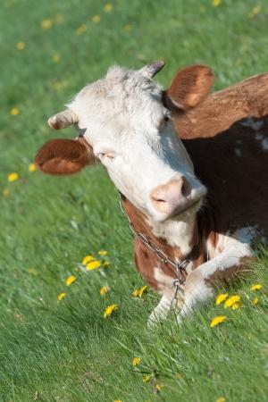 red heifer: retrato de una vaca roja